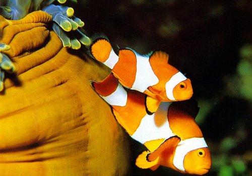 Амфиприон-клоун (Amphiprion percula)