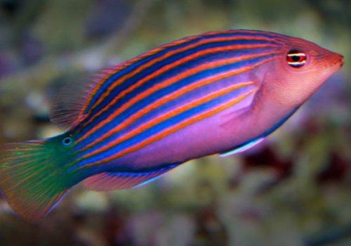 Губан Пижама (Pseudocheilinus hexataenia)