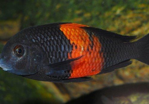 Трофеус Мура Бемба (Tropheus moorii black Bemba)